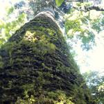 araucaria-gigante-cruz-machado