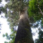 araucaria-gigante-cruz-machado-2