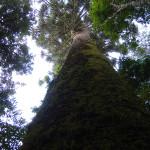 araucaria-gigante-cruz-machado-3