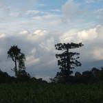 araucaria-gigante-cruz-machado-5