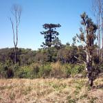 araucaria-gigante-cruz-machado-7